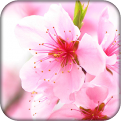 Abstract Sakura Live Wallpaper v3.1